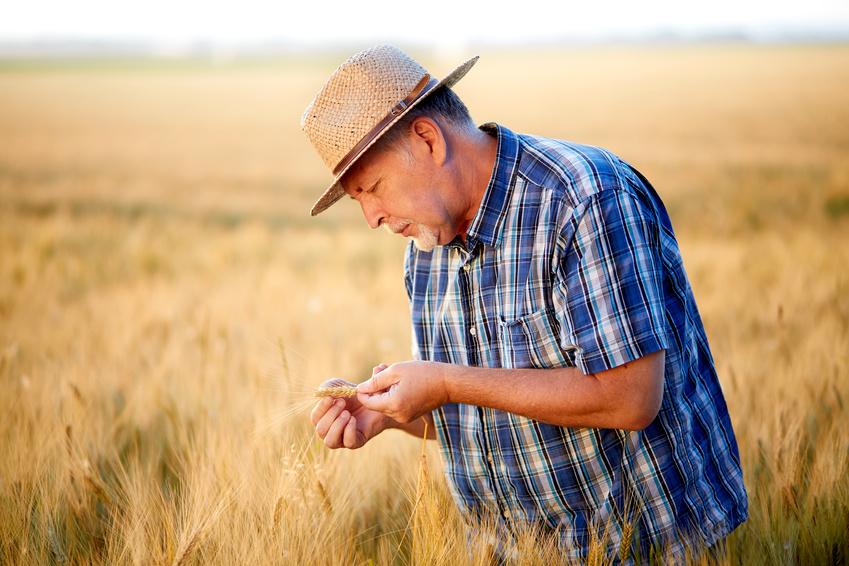 Senior farmer checks wheat grain in the field